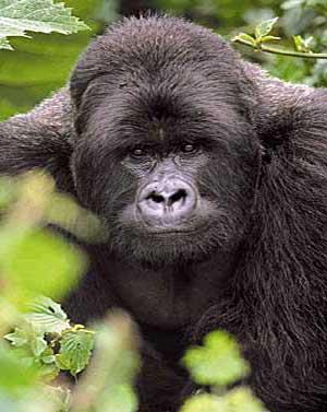 Le Gorille C1ddhh8e